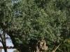 jerusalem_tree-028